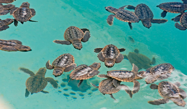 Baby sea turtles swimming at the local sea turtle sanctuary