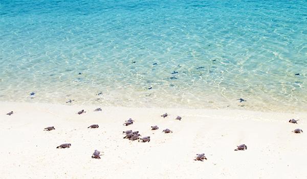 Bébés tortues de mer marchant vers l'océan