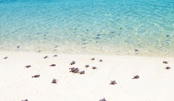 Baby sea turtles crawling towards the ocean