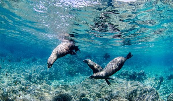 Three sea lions swimming underwater
