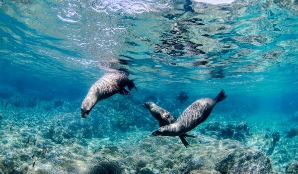 Three sea lions swimming underwater