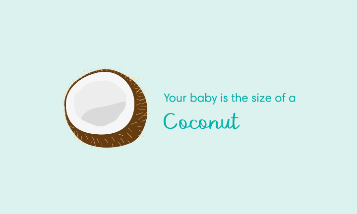 baby size of coconut week 31