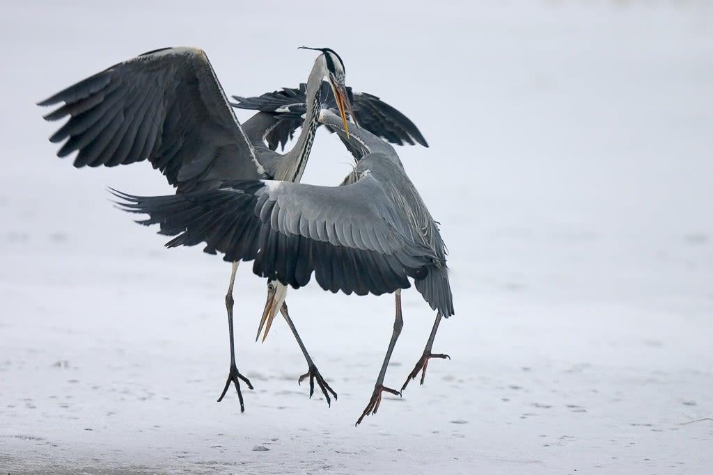 Grey herons in winter