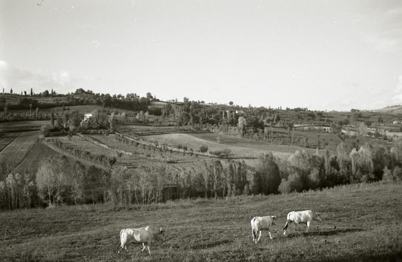 black and white photograph showing some cows in a field with hills behind