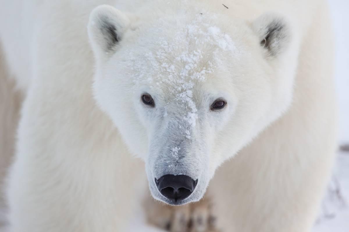 Giant polar bear portrait