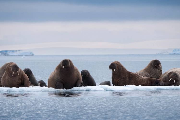 Walruses resting on a small ice floe.