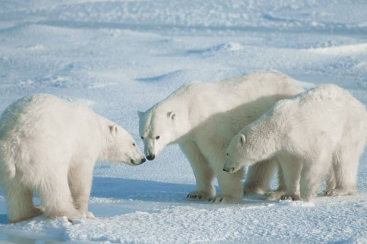 Three polar bears interacting closely with one another