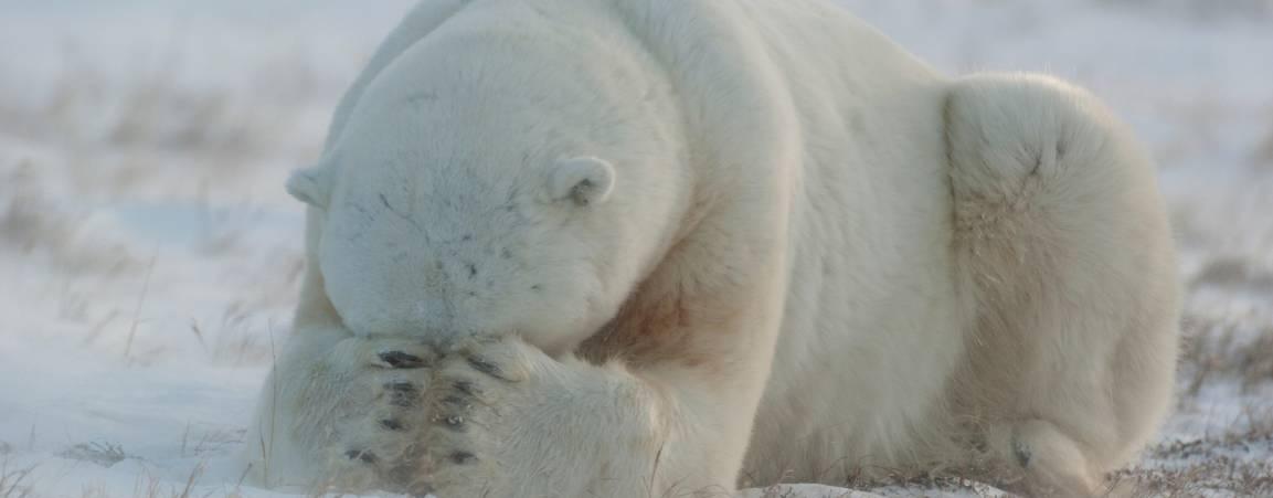 Hiding polar bear