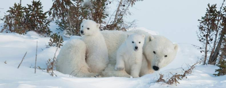2 polar bear cubs curled up with mama bear, laying in the snow