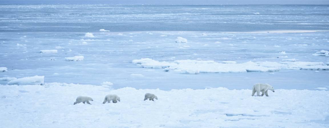 Distant view of three polar bear cubs walking across the arctic sea ice behind a mama polar bear