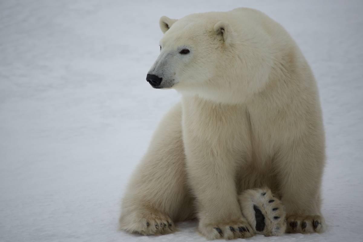 A lone polar bear looks directly at the camera.