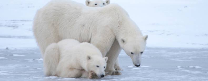 Mother bear and her cub looking down at the sea ice