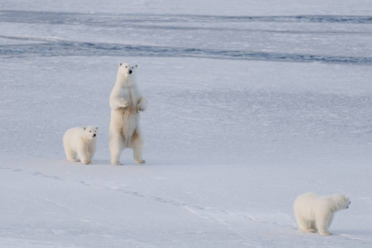 Three bears on the ice