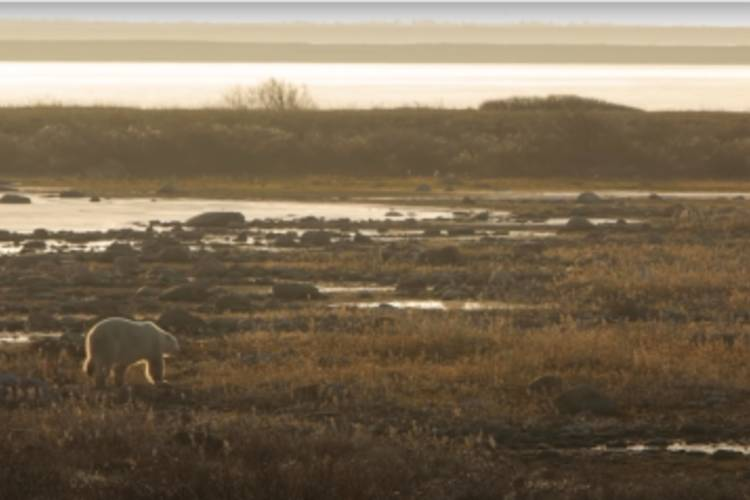 A polar bear traveling on dry land