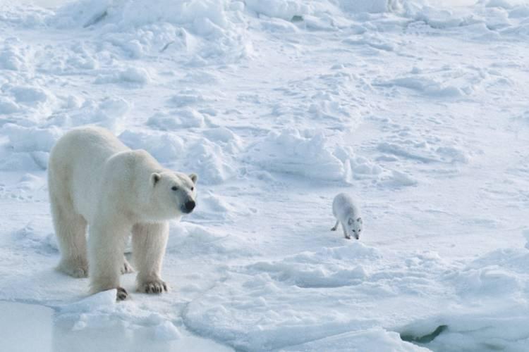 A polar bear and small white fox on snow