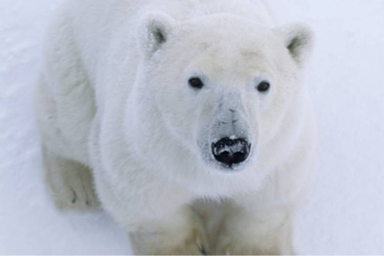 Polar bear looking at the camera