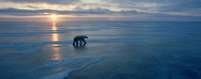 Polar bear walking along the ice at sunset
