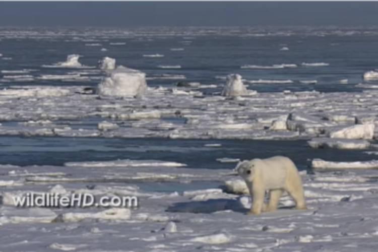 Polar bear looking straight ahead while walking on the sea ice