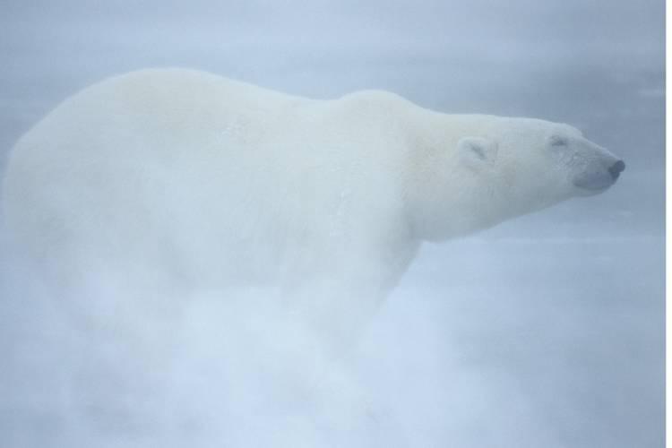 Polar bear standing in misty, foggy weather