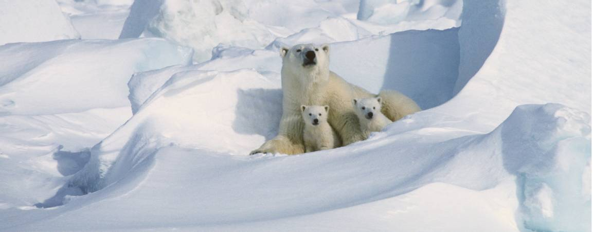 A mother polar bear with her two cubs sitting in a den of snow