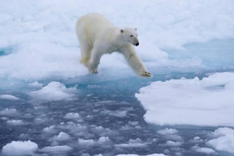 Polar bear leaping across the sea ice