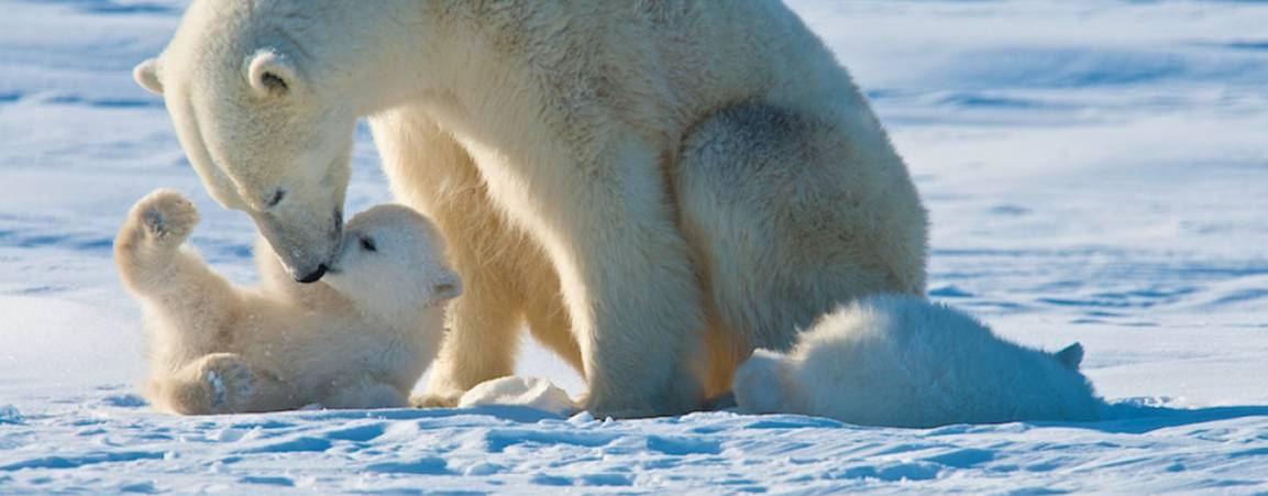 Mama bear nestling her cub