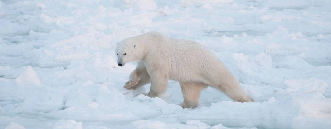 A polar bear climbing through the snow in the arctic