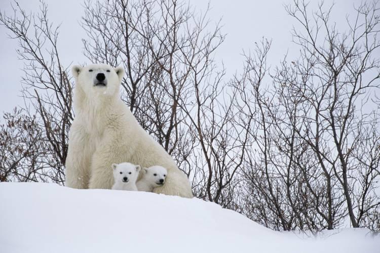 Polar bear mom and cubs at den