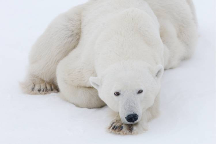 Polar bear laying on ice looking at camera image