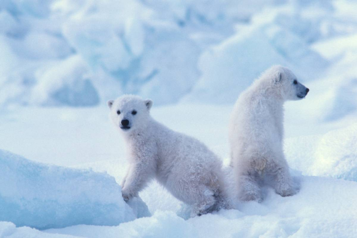 Two young polar bear cubs, recently emerged from their snow den.