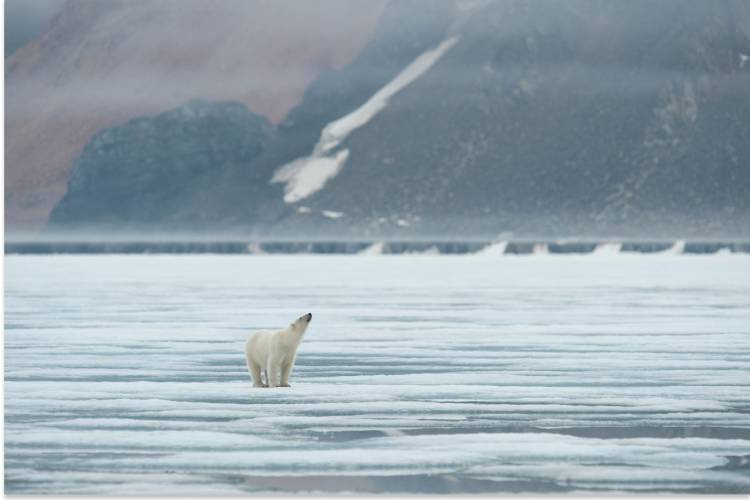 Distant view of a polar bear standing on the sea ice, looking up at the sky