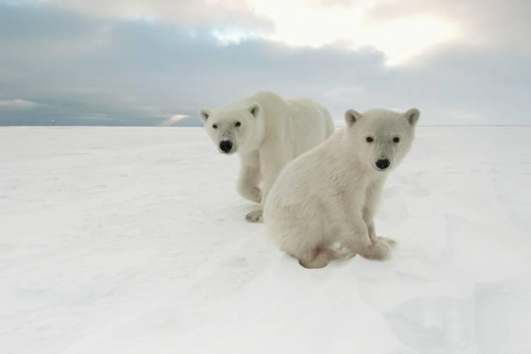 A mother polar bear and cub along the coast of Hudson Bay