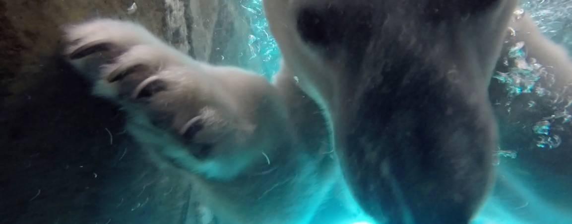 Polar bear swimming in pool