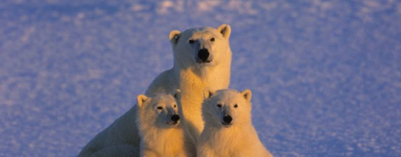 Mother bear and her cubs looking forward