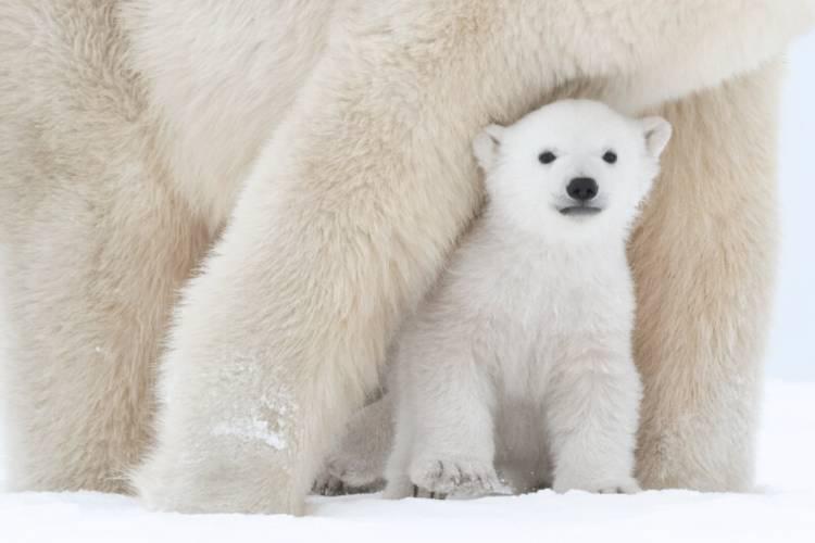 A tiny polar bear cub peeks out from under mom's forelegs.