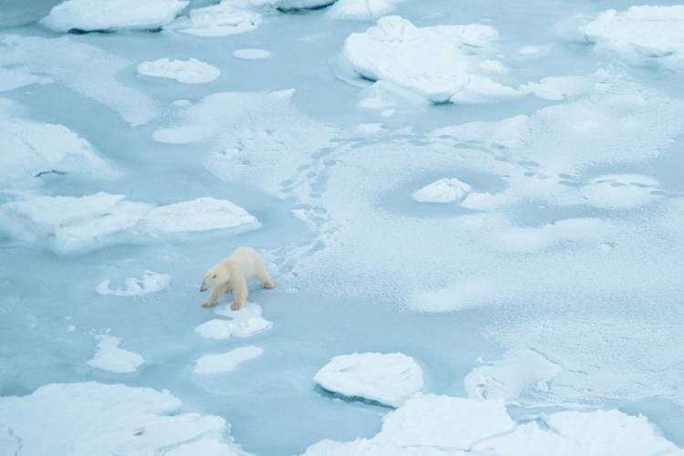An aerial view of a polar bear travelling across the ice
