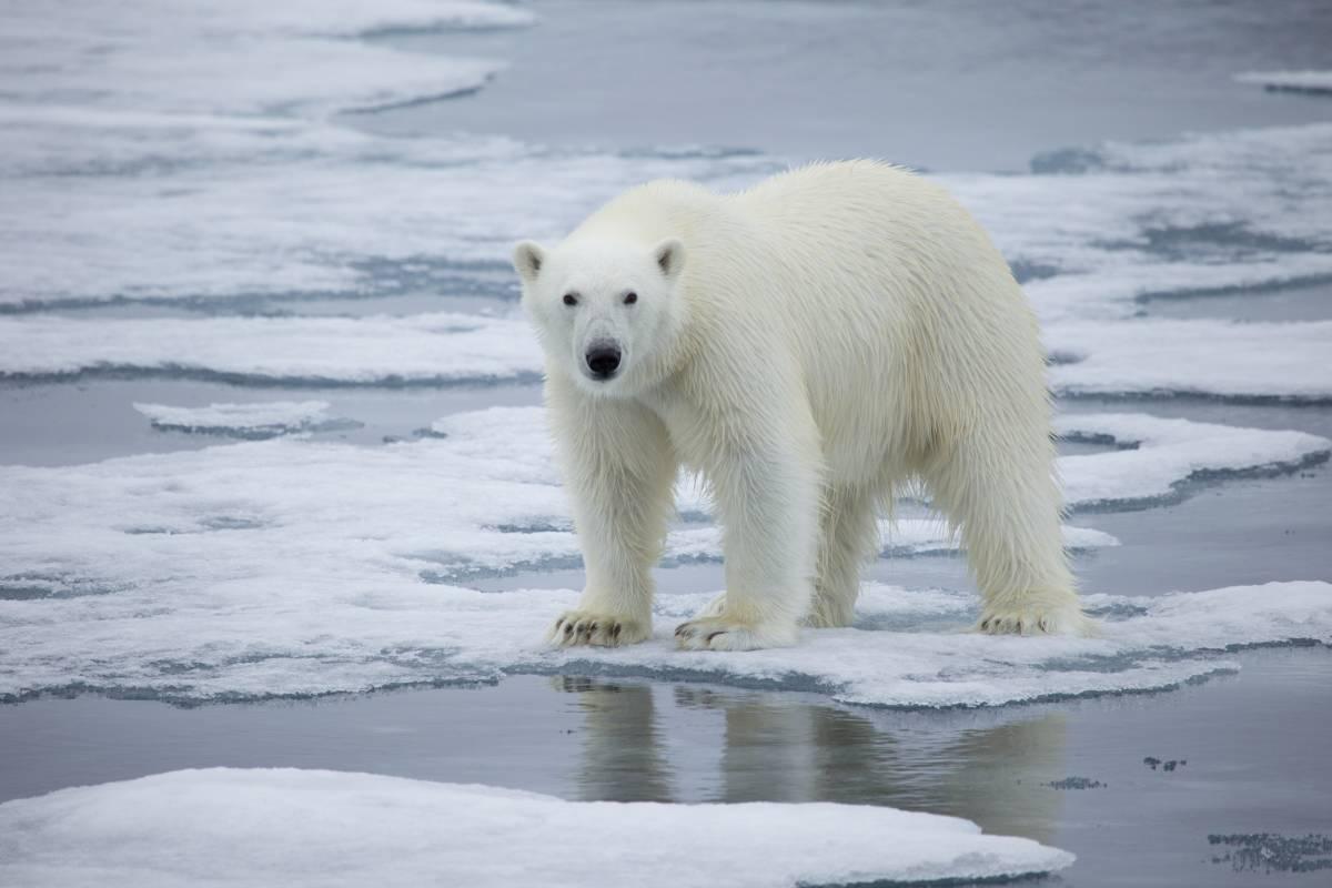 A polar bear stands on melting sea ice