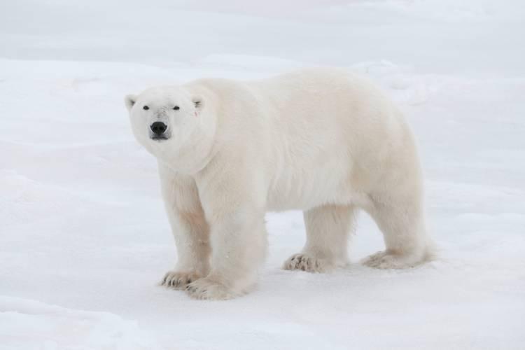 Big polar bear