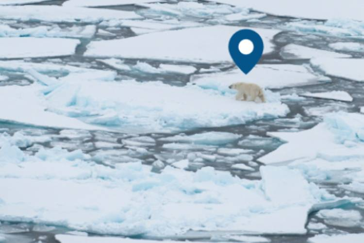 Geographical pin above a polar bear traveling on ice