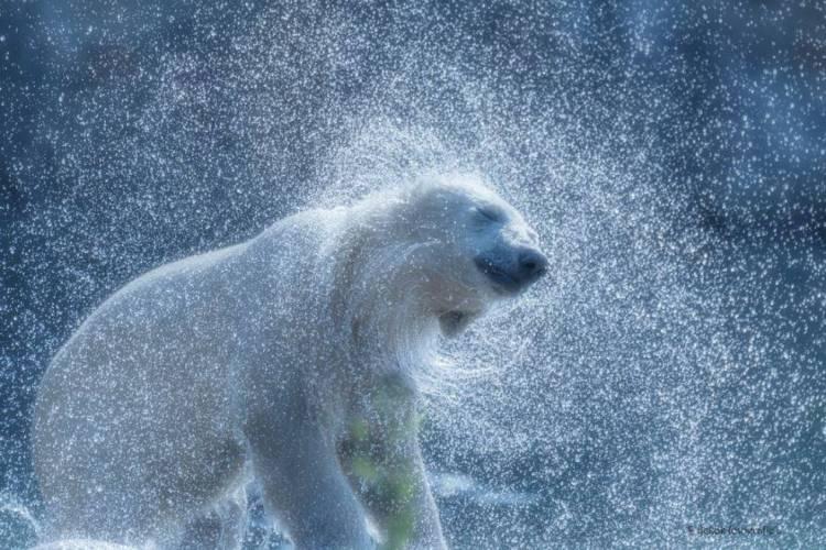 Polar bear shaking water off image