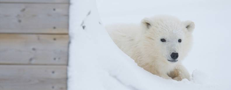 Bear detection system in Churchill, Manitoba