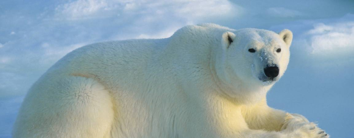 Polar Bear laying down staring in the direction of the camera capturing the photo
