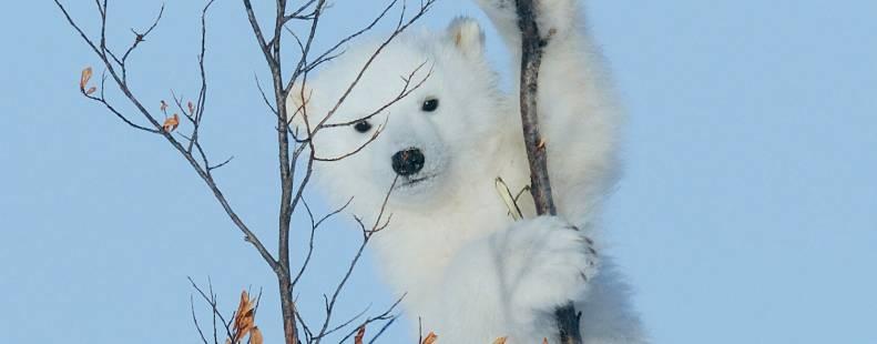 Polar bear cub climbing a small tree