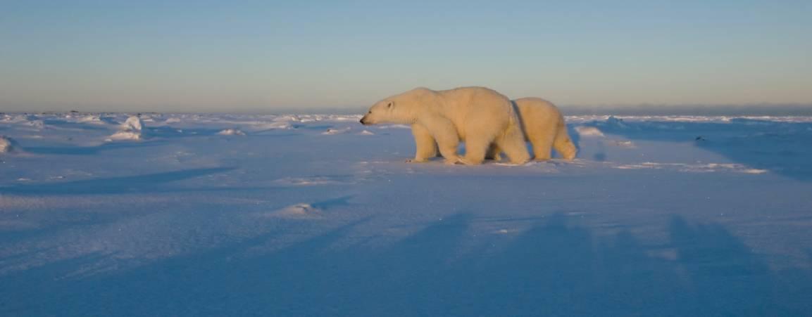 Two polar bears walking across the frozen tundra