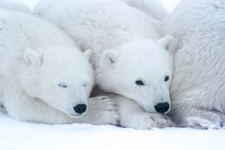 One polar bear resting on another with its eyes closed.