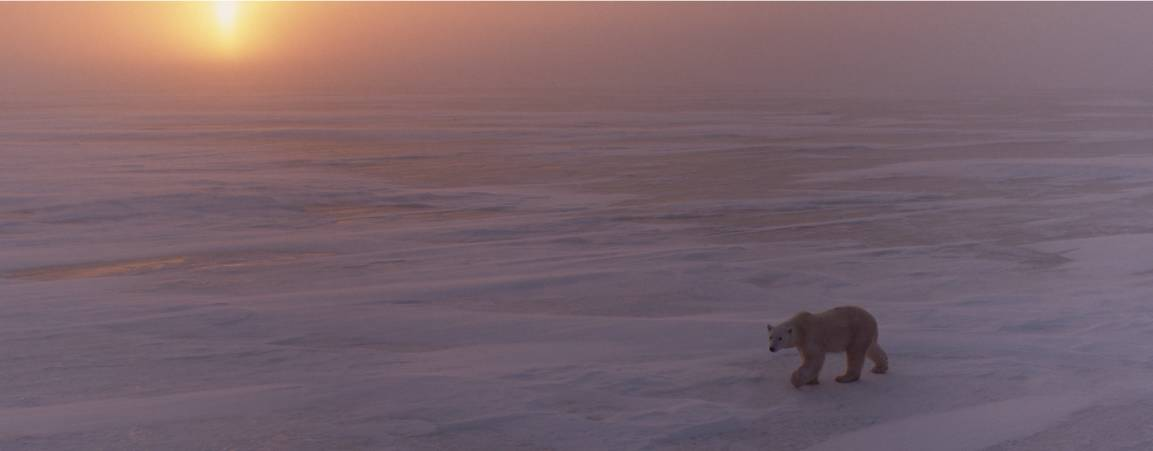 A single polar bear walking across the sea ice with the setting sun in the background