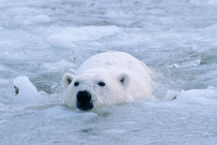 Polar bear swimming image