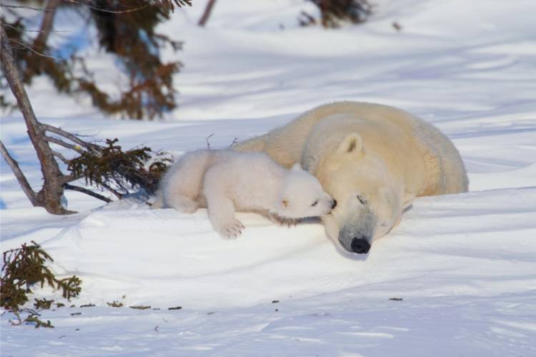 Mother bear and her cub laying in the snow image