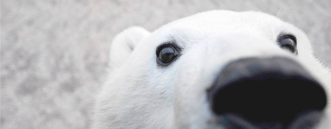 Close-up of polar bear face image