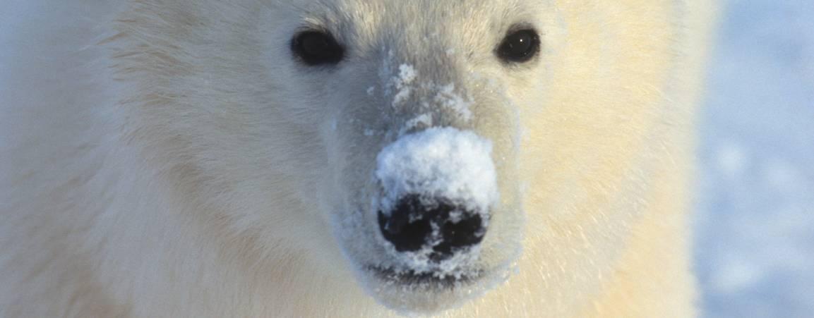 Close-up of polar bear's face